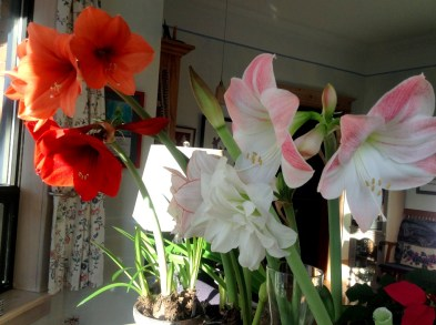 A selection of Amaryllis cultivars grown by Dawn