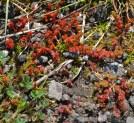Crassula tillaea (Crassulaceae)
