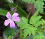 Geranium robertianum (Geraniaceae)