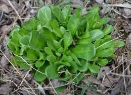Samolus valerandi (Primulaceae)