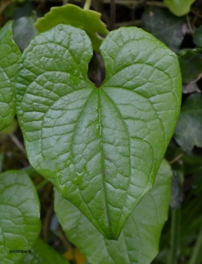 Tamus [Dioscorea] communis (Dioscoreaceae)