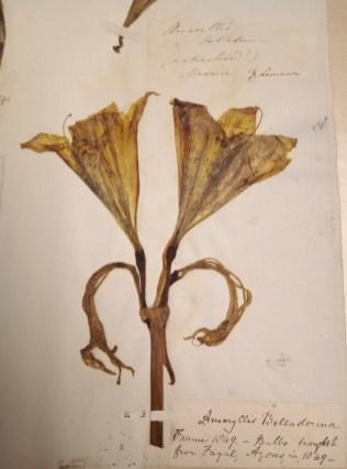 An Amaryllis belladonna herbarium specimen at Manchester
