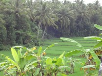 Banana integrated farming with rice field- Bali, Indonesia. Picture by Liew.