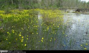 Utricularia striata growing aquatically