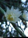Small, white, actinomorphic flowers