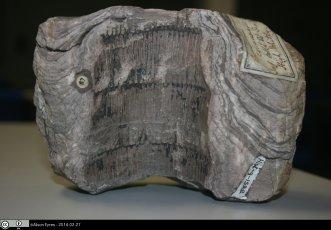 Equisetum fossil stem, University of Reading archaeology department