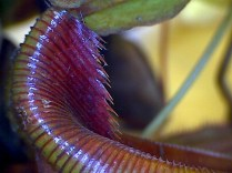 Nepenthes mira Lower pitcher showing detail of raised peristome under lid
