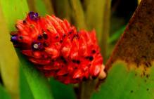 Aechmea distichantha at Pico dos Marins range, SP, Brazil