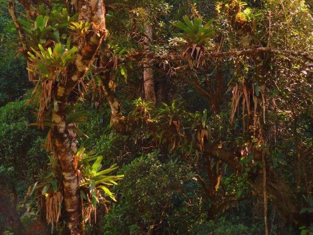Vriesea sp. - Atlantic Rainforets at Reserva Biológica do Tinguá, RJ, Brazil.