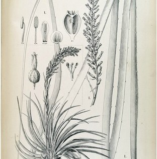 Illustration from Flora Brasiliensis of Tillandsia sp.