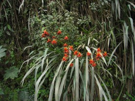 Flowering Pitcairnia feliciana in a Rock outcrop in Guinea, West Africa (Photo: Wiki Commons)