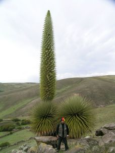 Puya raimondii and its surprising size