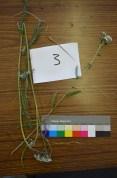 3 - Asteraceae - Achillea millefolium
