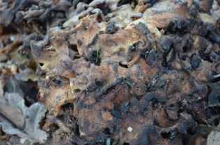 Grifola frondosa Hen of the woods