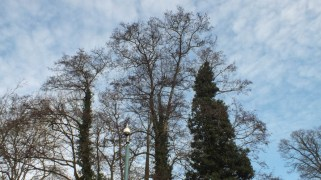 Common alder trees looking from whiteknights bridge