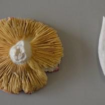 O1- Russula sp.