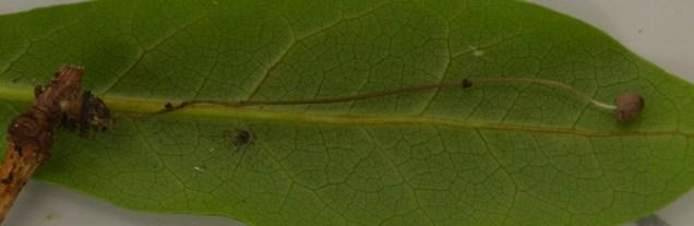 8 Mycena sp.