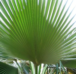 The palmate frond of Pritchardia martii. Photo by David Eickhoff . License: CC Public Domain