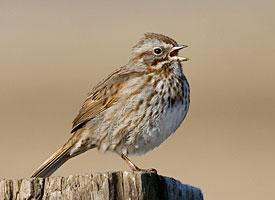 Spring Sparrows in Joliet  Michael Bryson  Roosevelt