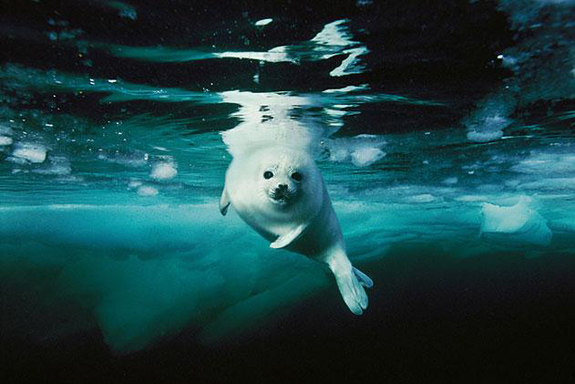 Harp seal, by Brian Skerry