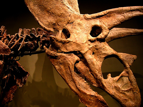 Titanoceratops, previously identified as Pentaceratops