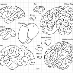 Sheep Brain Diagram Biology Corner 2016 Ford Fusion Radio Wiring Why Are Our Brains Wrinkly Smart News Smithsonian A Smattering Of Mammalian Photo Toro Et Al Evolutionary