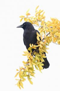 crow-photo-by-dan-elster