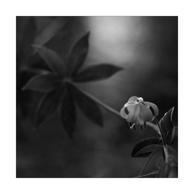 """Heinz Danzberger, """"Tiger Lily"""" 2017, photograph"""