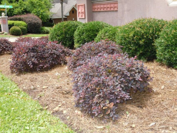 replace overgrown foundation plants