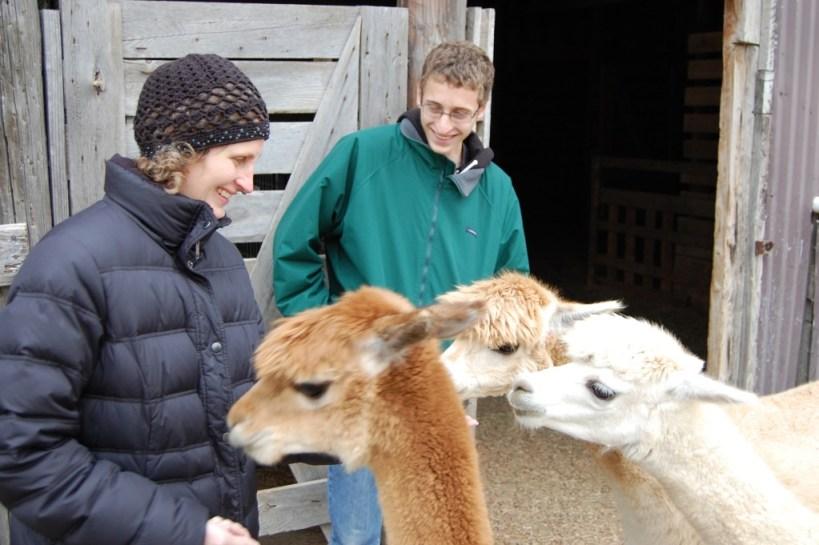 Feeding alpacas.