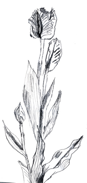 slightly shaky tulip sketch