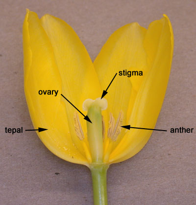 Diagram Of Dissected Lilly Floral Variation Biology 343