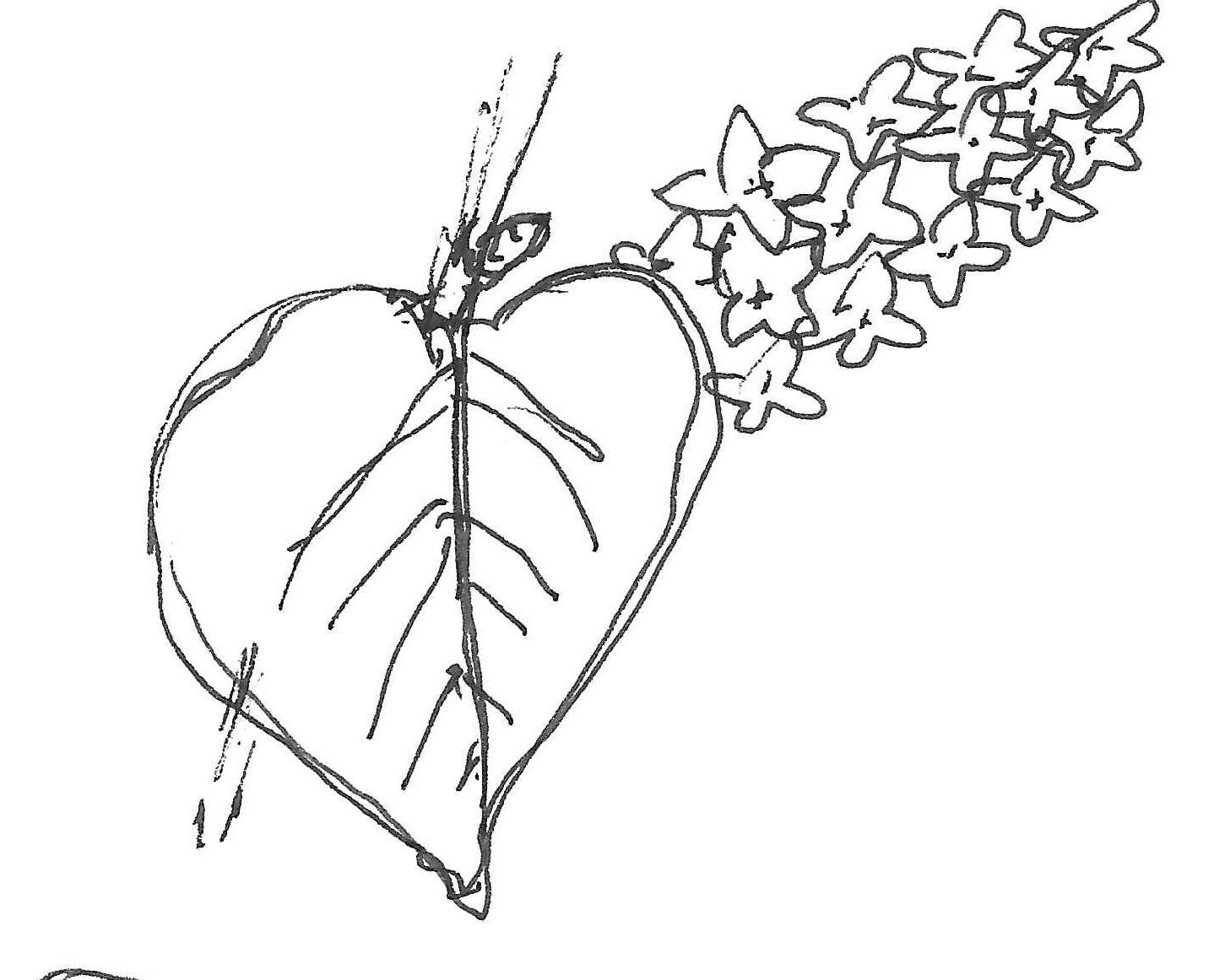 Oleaceae Larc 316 Plant Identification List 3rd Blog