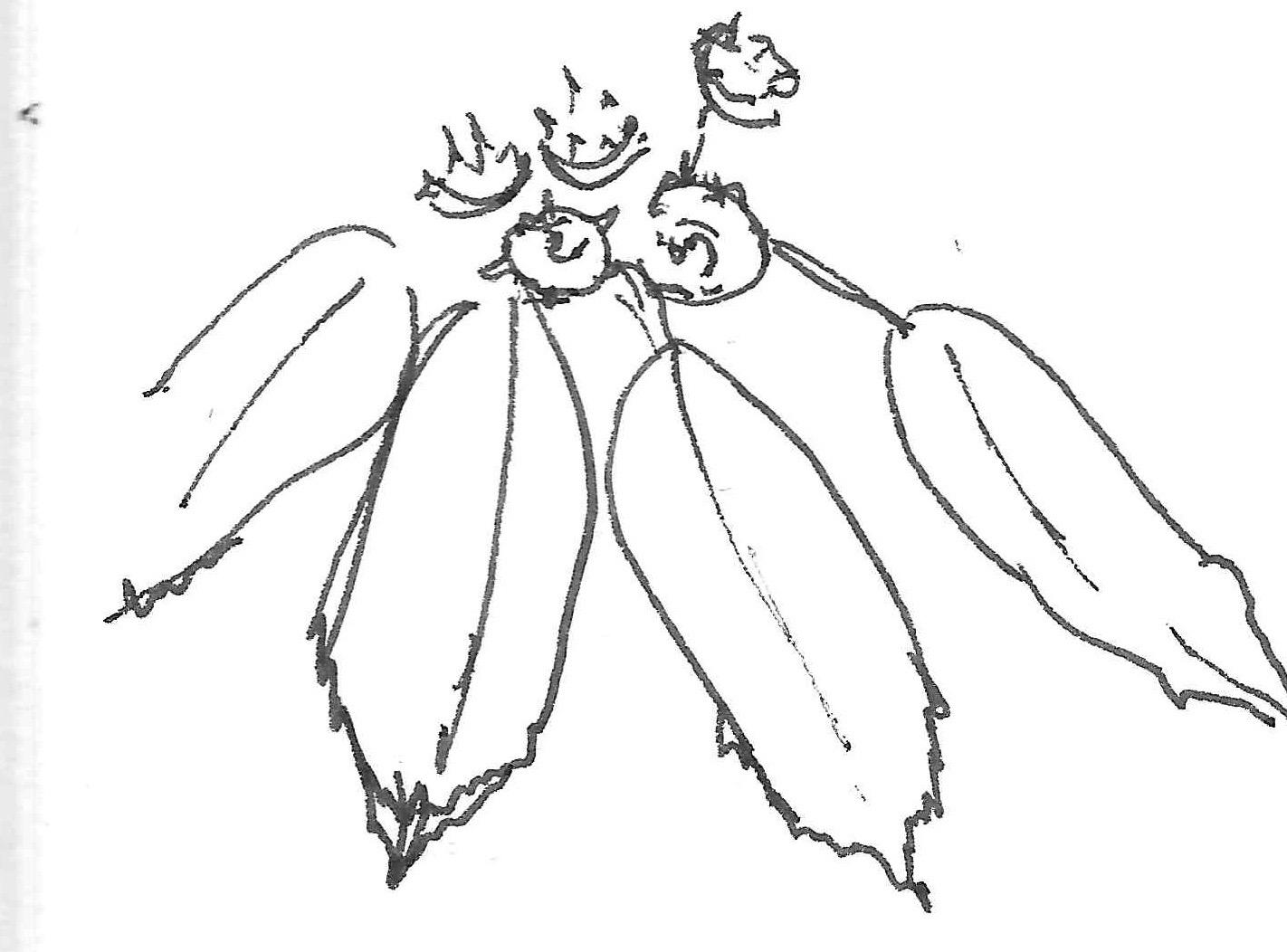 Trochodendraceae
