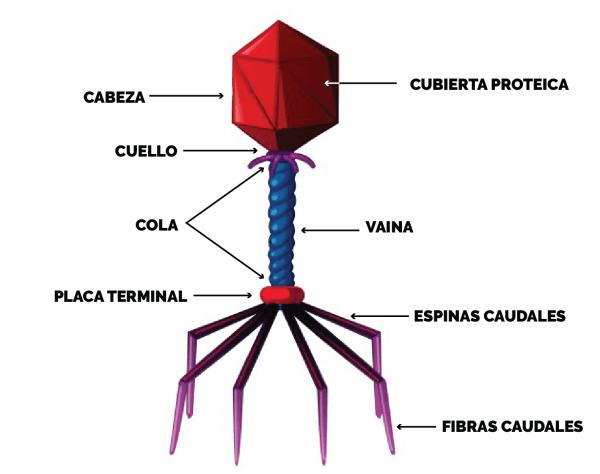Unidad Didáctica 4 Virus De Importancia Médica Contenidos