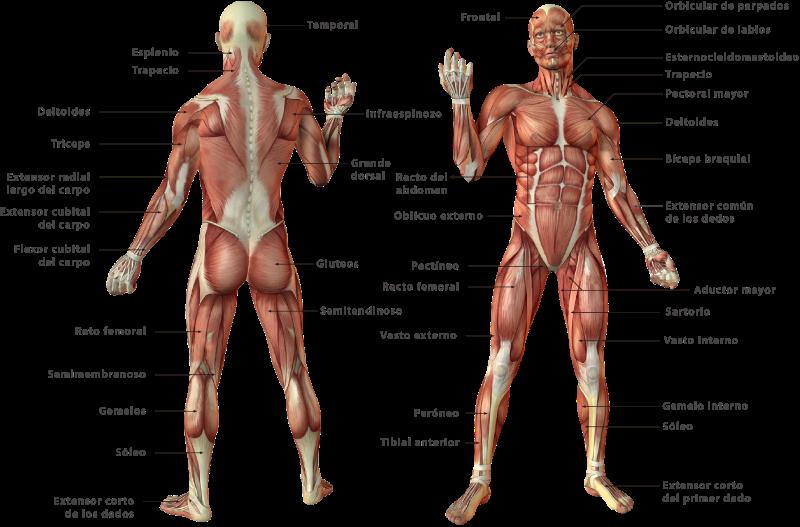 Unidad didáctica 10: El sistema muscular - Contenidos didácticos de ...