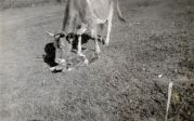 Cow and calf, undated [circa 1913-1942]