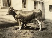 Cow, 1932