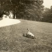 Family of ducks, 1917