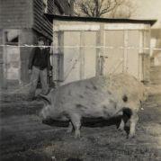 Pig, undated [circa 1913-1942]