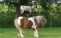 pony standing on pony harry labana