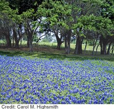 "Each spring, ""bluebonnet trails"" in Central Texas attract thousands of wildflower enthusiasts. The flower (or its cousin) also pops up in a cheery red in some places."