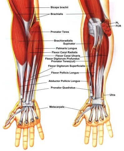 palmar hand muscle anatomy diagram excretory system worksheet anatomy, dr. dre's clinic
