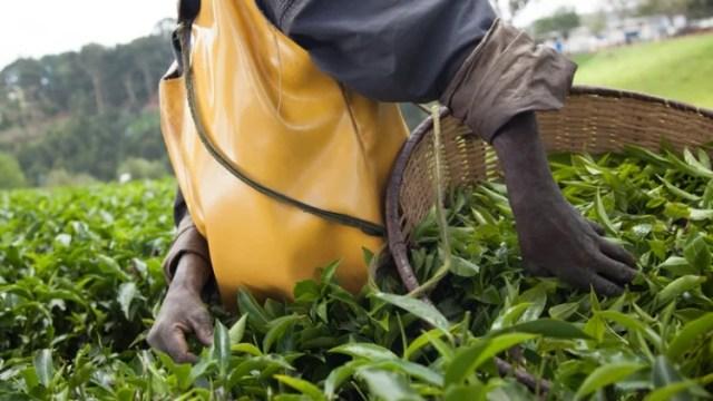 The Kitabi Tea Processing Facility in Kitabi, Rwanda. © A'Melody Lee/World Bank