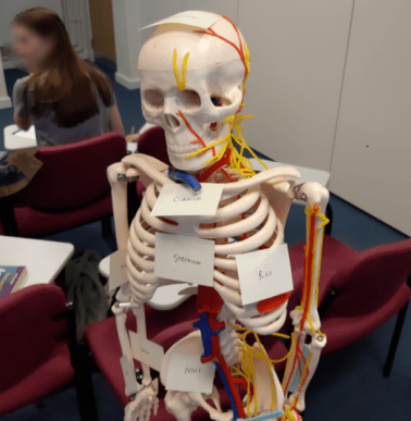 Here is the model skeleton my small-group used, I named her Sally the Skeleton.