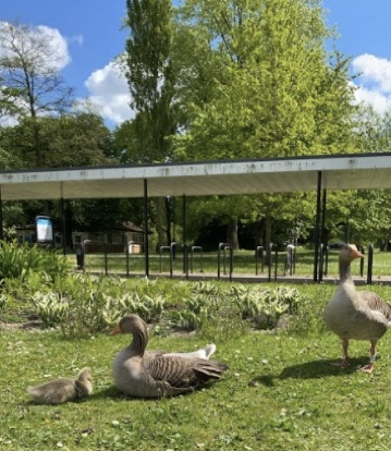Geese wandering around the University of York campus.