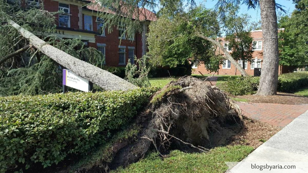 trees uprooted with hurricane matthew