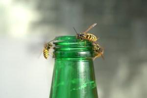 wasps-plague-3691852_1920