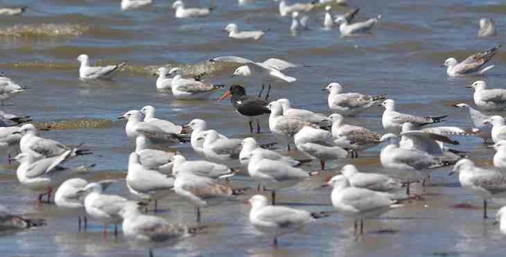 Pied Oystercatcher, Haematopus longirostris +==================+ If I mingle among these gulls, that pesky photographer won't be able to to spot me.
