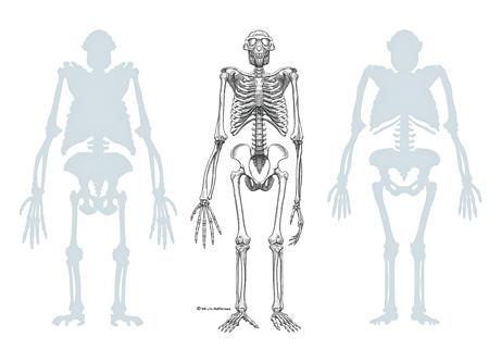 Ardipithecus ramidus (nel centro) fra uno scimpanzé (a sinistra) e un Australopithecus afarensis (J. H. Matternes e National Geographic)